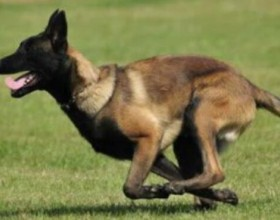 马犬训练教程 掌握这几点什么训练都简单!